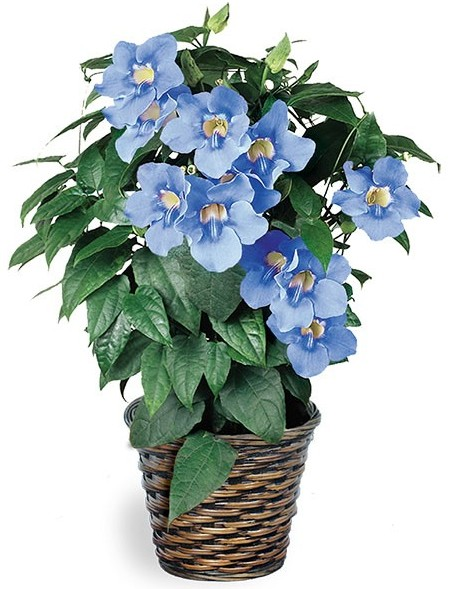 Logees-Blue-Skyflower-Thunbergia-grandiflora