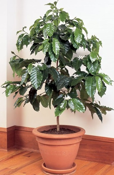 Coffee Tree (Coffea arabica)