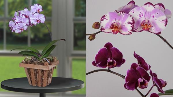 Mother's Day gift ideas - Phalaenopsis Orchid 'Magic Art' (Phalaenopsis hybrid)
