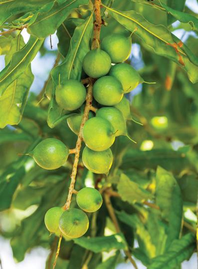 Macadamia Nut Tree (Macadamia integrifolia)
