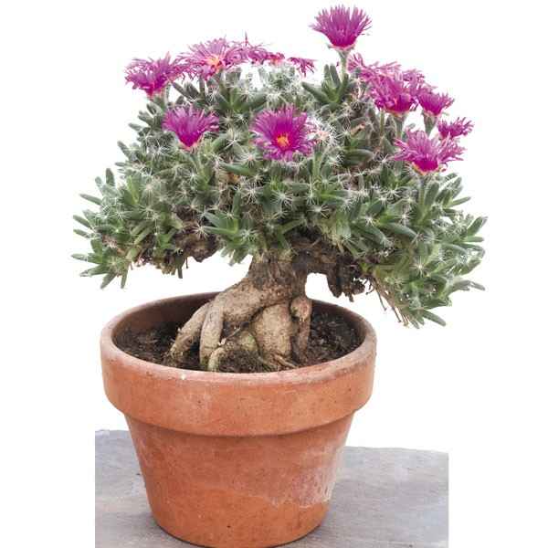 Miniature Desert Rose (Trichodiadema densum)
