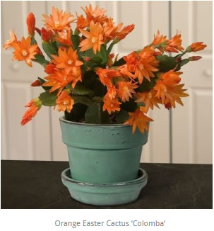 Orange Easter Cactus Colomba Rhipsalidopsis gaertneri