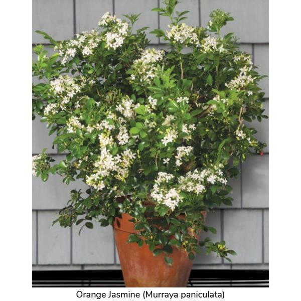 Orange Jasmine (Murraya paniculata)
