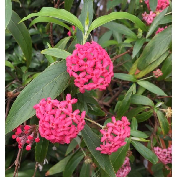 Panama Rose (Rondeletia leucophylla)