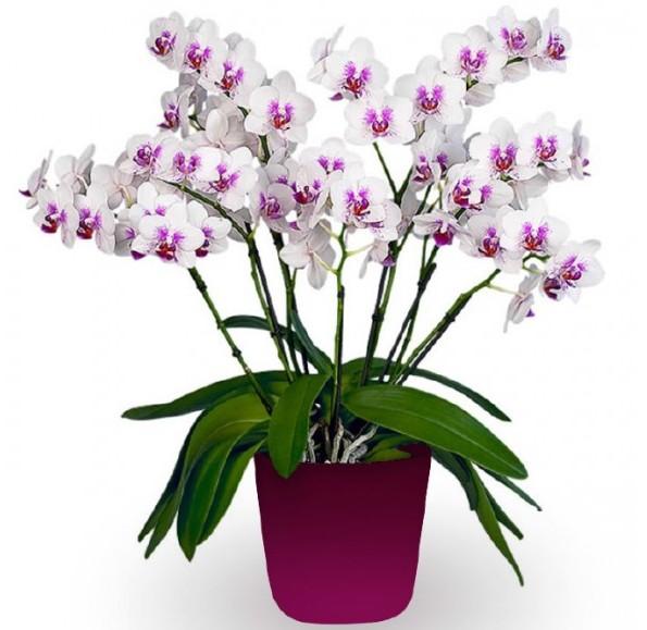 Phalaenopsis Multiflora Orchid 'Prima Piano' (Phalaenopsis hybrid)