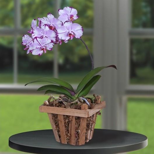 Phalaenopsis Orchid 'Magic Art' (Phalaenopsis hybrid)