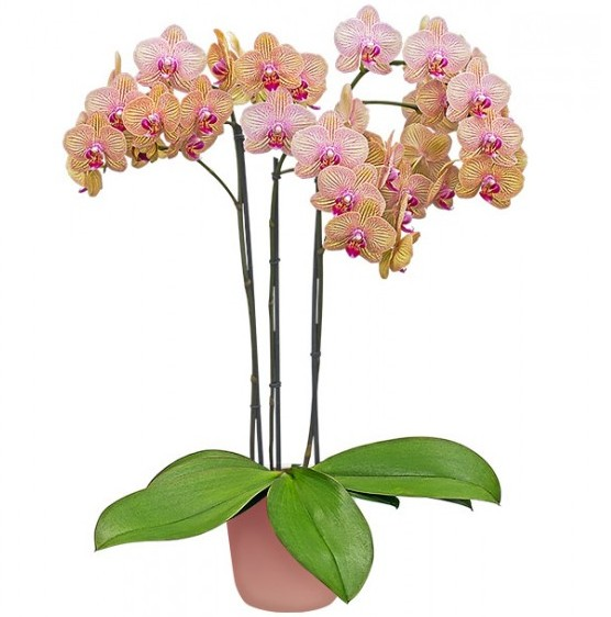 Phalaenopsis Orchid 'Showpiece' (Phalaenopsis hybrid)