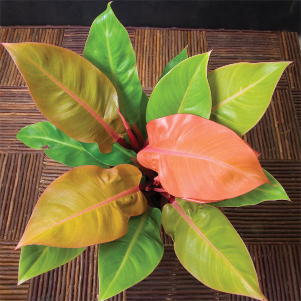Philodendron 'Prince of Orange' p.p. (Philodendron hybrid)