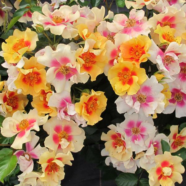 Rose 'Ringo' p.p. (Rosa hybrid)