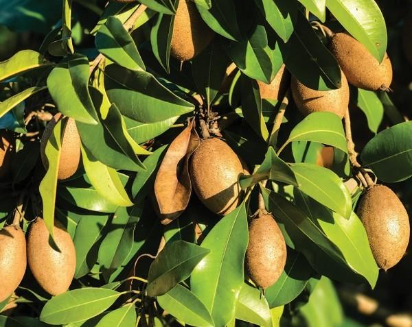 Sapodilla 'Alano' (Manilkara zapota hybrid)