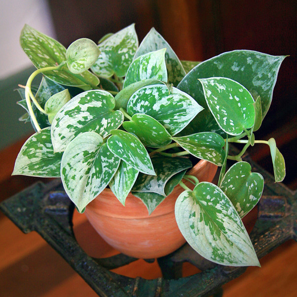 Silver Pothos 'Silvery Anne' (Scindapsus pictus hybrid)