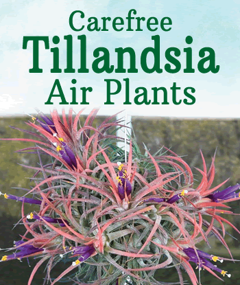 Tillandsia-Air-Plants