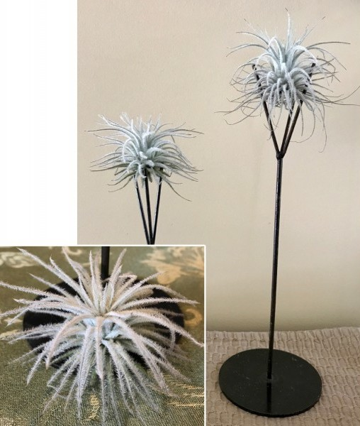 Tillandsia Tectorum on Air Plant Stands
