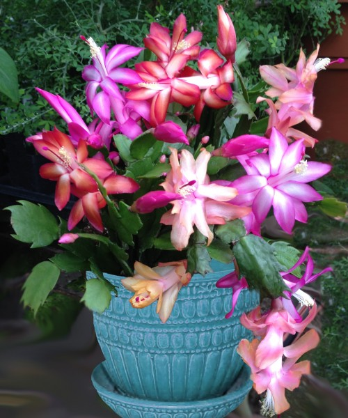 Trio of Christmas Cactus