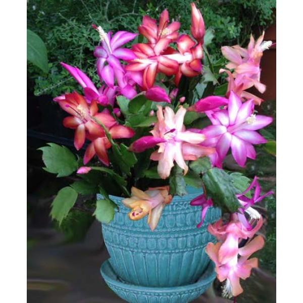 Trio of Christmas Cactus (Schlumbergera hybrids)