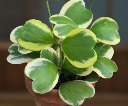 Variegated Heart Leaf Hoya (Hoya kerrii 'Variegata')