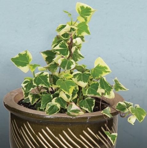 Variegated Wax Ivy (Senecio macroglossus 'Variegatus')