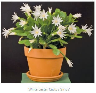 Easter Cactus - How to grow and care for Easter Cactus on trailing flowers, variegated ivy house plant, trailing green plants, trailing annual plants, angel trumpet flower plant, trailing vines and roots, droopy marijuana plant, trailing flowering shrub texas, trailing aloe, trailing lantana varieties, trailing flowering plants, trailing begonias, butterfly rose plant, trailing plants for containers, trailing vinca vine, tiger lily plant, kalanchoe plant,