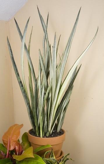White Sansevieria 'Bantel's Sensation' (Sansevieria trifasciata)