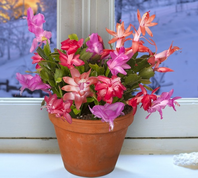 Winter Beauty Christmas Cactus Collection (Schlumbergera hybrids)