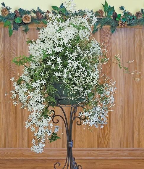 Winter Jasmine (Jasminum polyanthum)
