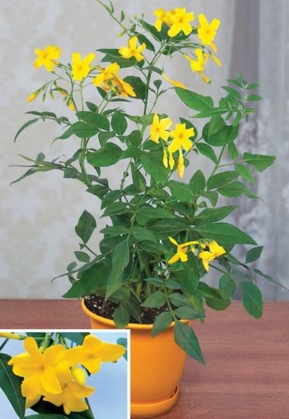 Yellow Jasmine 'Revolutum' (Jasminum humile)