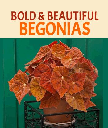 bold-beautiful-begonias