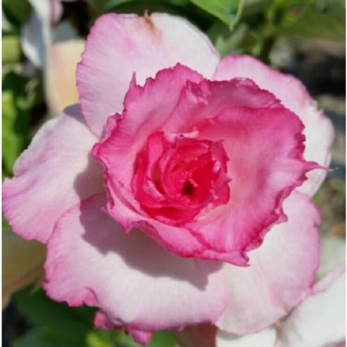 Desert Rose 'Good Luck' (Adenium hybrid)