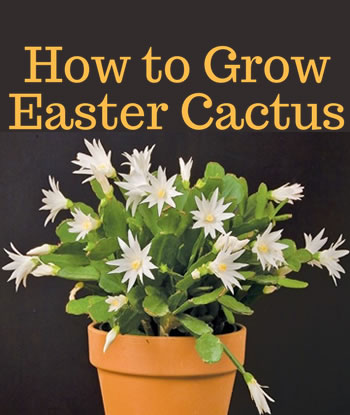 how-to-grow-easter-cactus-home-th