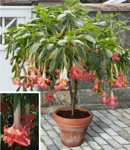 Mother's Day gift ideas - Angel's Trumpet 'Audrey Lea' (Brugmansia hybrid)