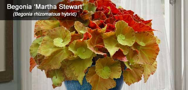 Begonia Martha Stewart