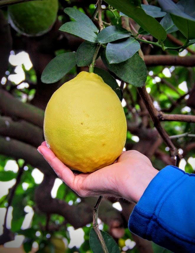 A Lemon from the American Wonder Lemon Tree