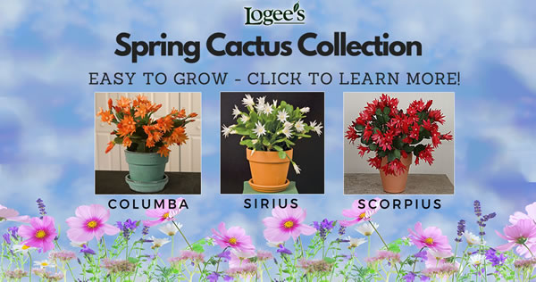 Logee's Easter / Spring Cactus Collection
