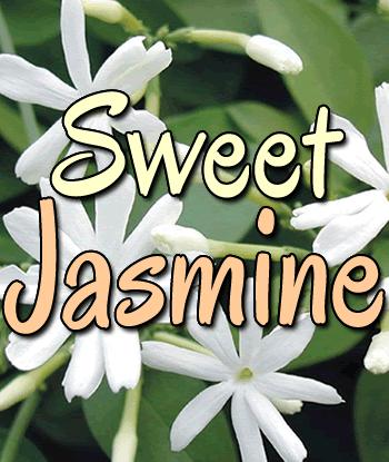 sweet-jasmine