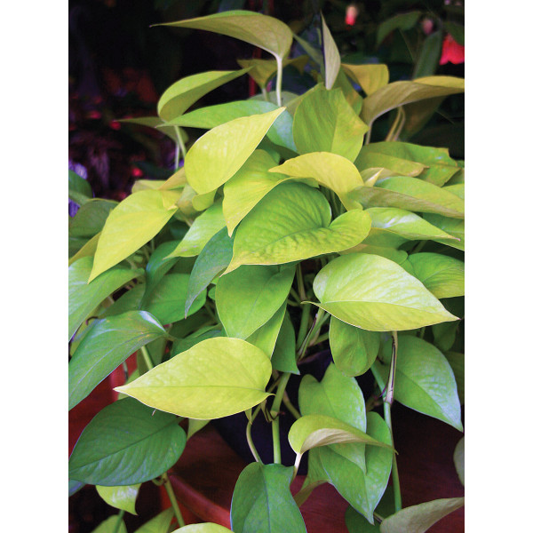 Neon Pothos (Epipremnum aureum)