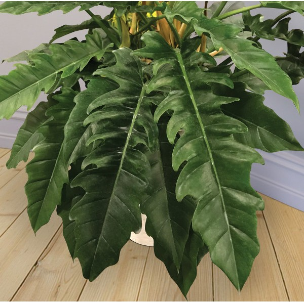 Philodendron 'Jungle Boogie' (Philodendron hybrid)