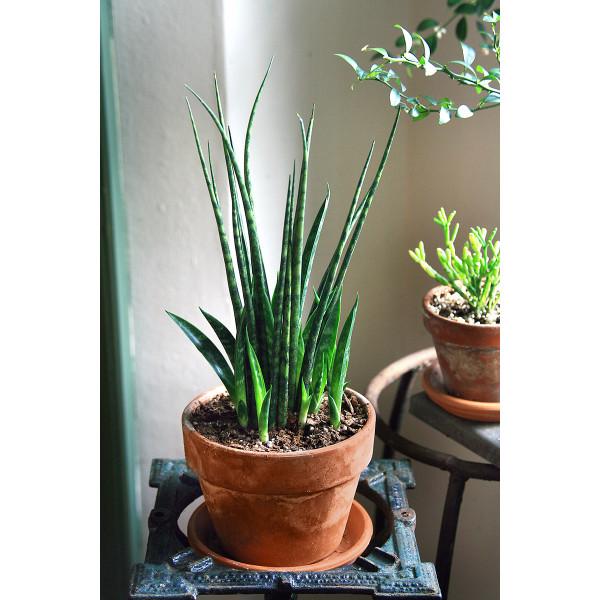 Sansevieria Fernwood 'Mikado' (Sansevieria hybrid)